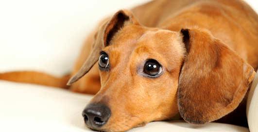 Ученые доказали, что собаки притворяются, когда делают жалостливую морду