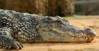 Питомец Рэмбо: Сталлоне завел домашнего аллигатора и тренируется с ним по вечерам
