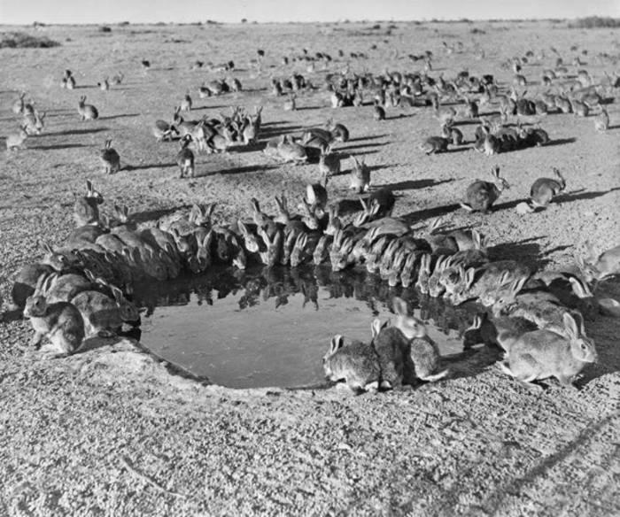 Миллиарды кроликов появились из-за отсутствия природных врагов