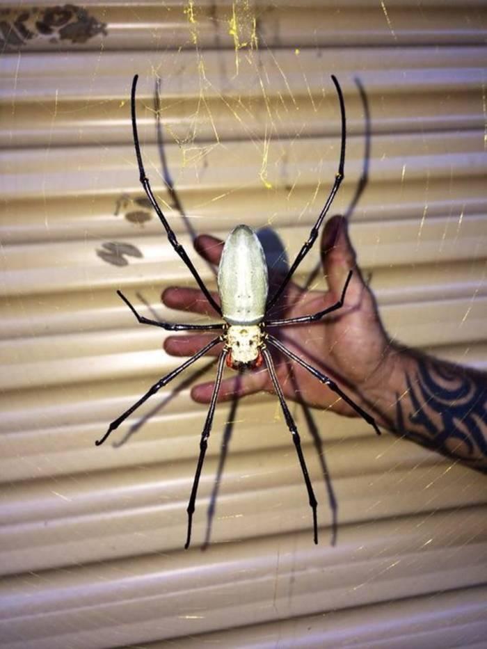 Небольшой австралийский паучок