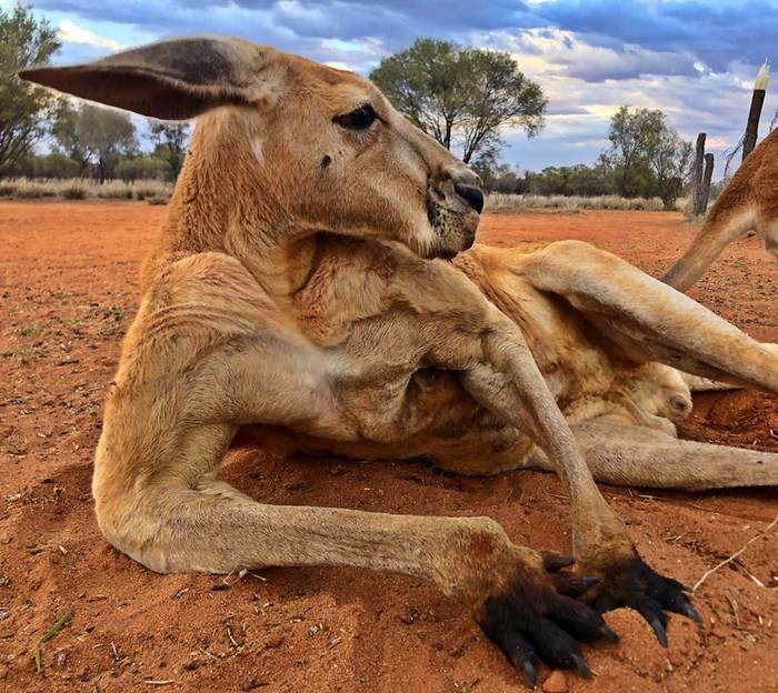 В Австралии кенгуру больше, чем людей