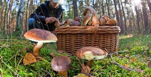 Тихая охота: как правильно собирать грибы и отличать съедобные?