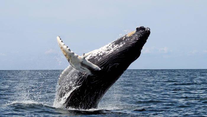 Синий кит. У него самый большой