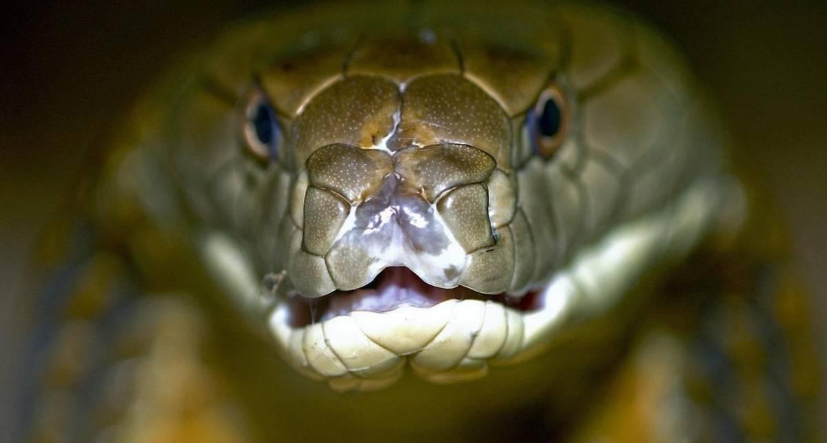 Хуже, чем теща: самые ядовитые змеи на планете