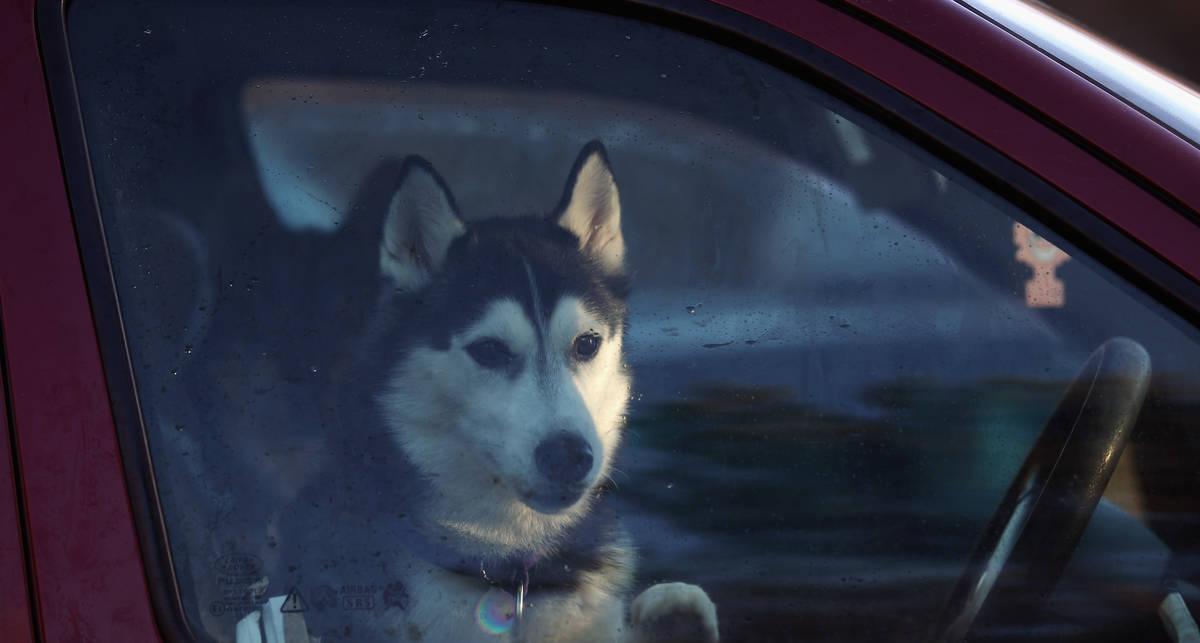 Собака в салоне может отправить водителя на тот свет