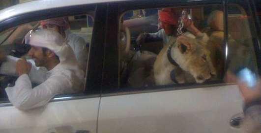 Разделяй и властвуй: развлечения арабских шейхов