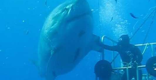 6-метровый людоед: самая большая акула в мире