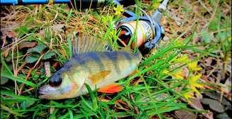 Осенняя рыбалка: 3 лучших способа ловить окуня