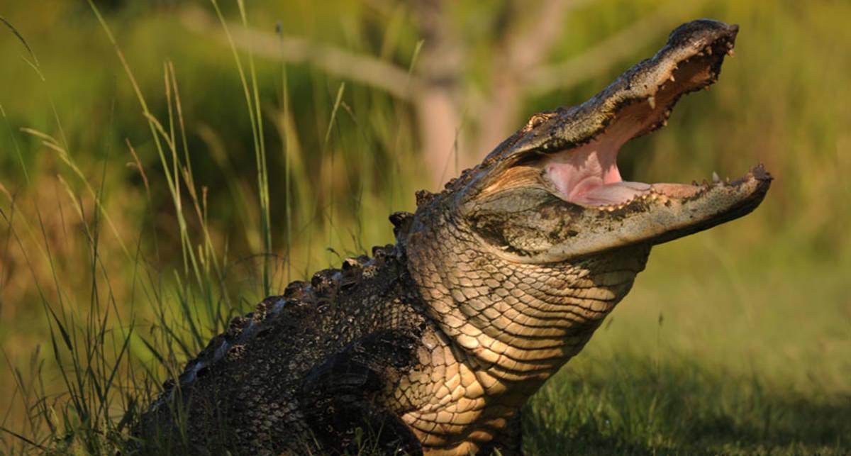 Можно ли убежать от крокодила, двигаясь зигзагом