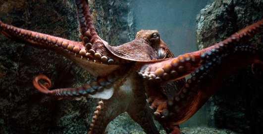 Забеременеть от осьминога — это реально?