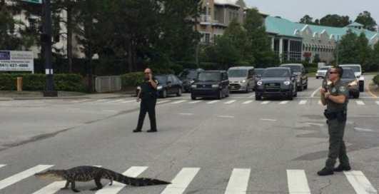Бесстрашные: девушки перевели крокодила через дорогу