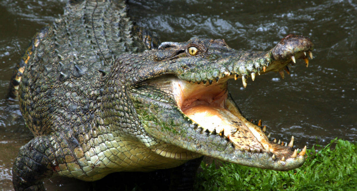 Бабушка-мэр из мести выследила и убила аллигатора