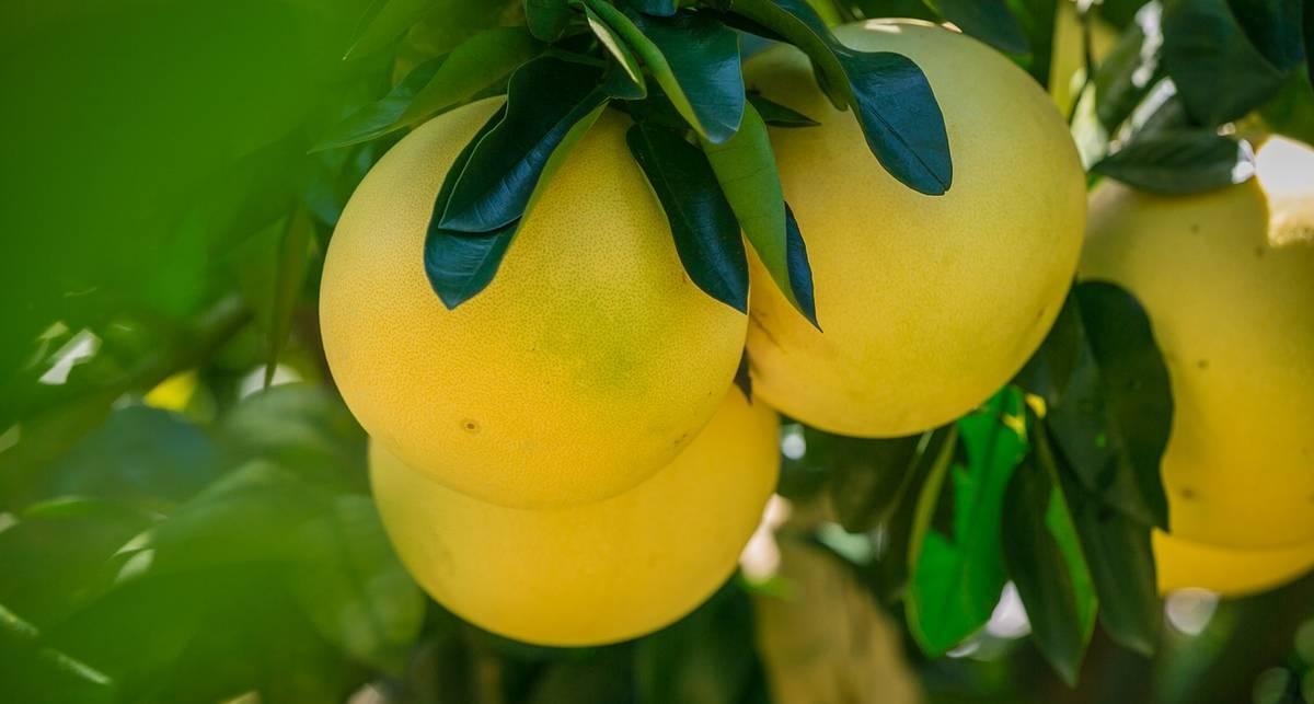 Время есть помело: почему полезен сладкий грейпфрут
