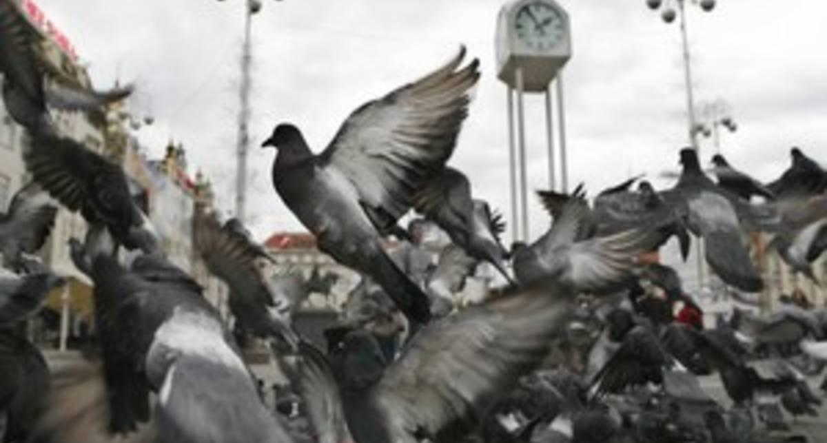 В США создадут голубя-шпиона