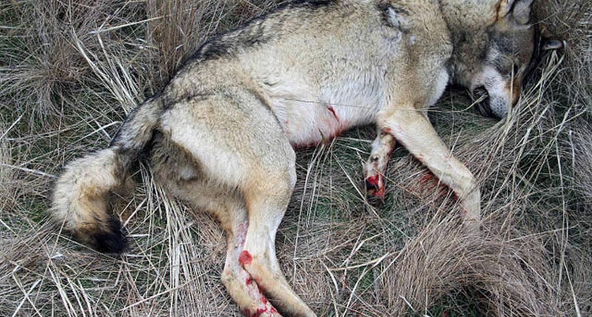 По-мужски: идет охота на волков!