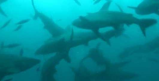 100 тысяч акул у берегов Америки