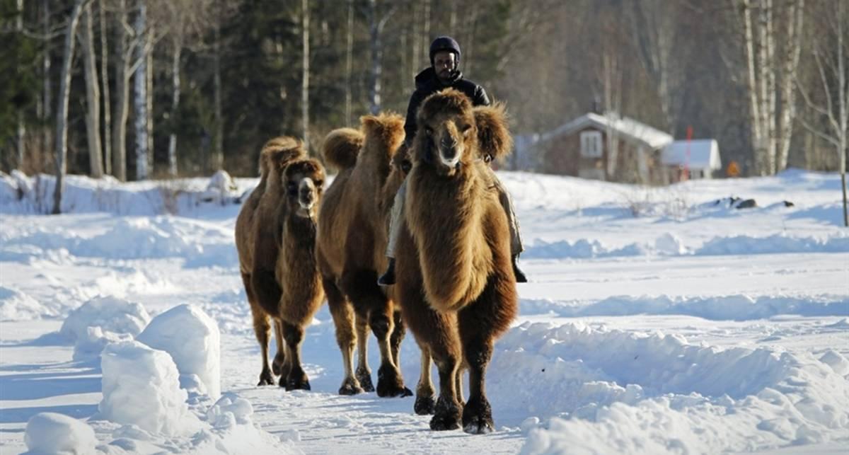 Африканец пасет на снегу верблюдов