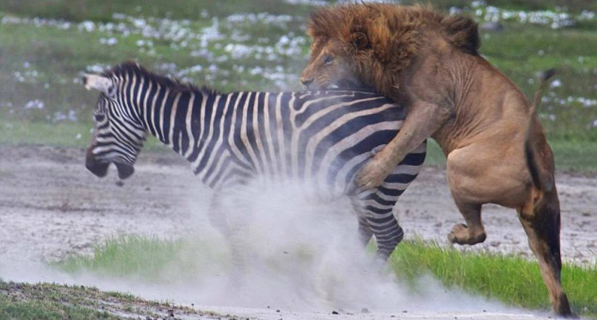 Копытом по морде: зебра избила льва
