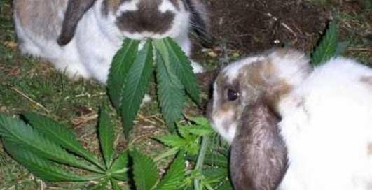 Кролики-наркоманы: последняя утеха старушки