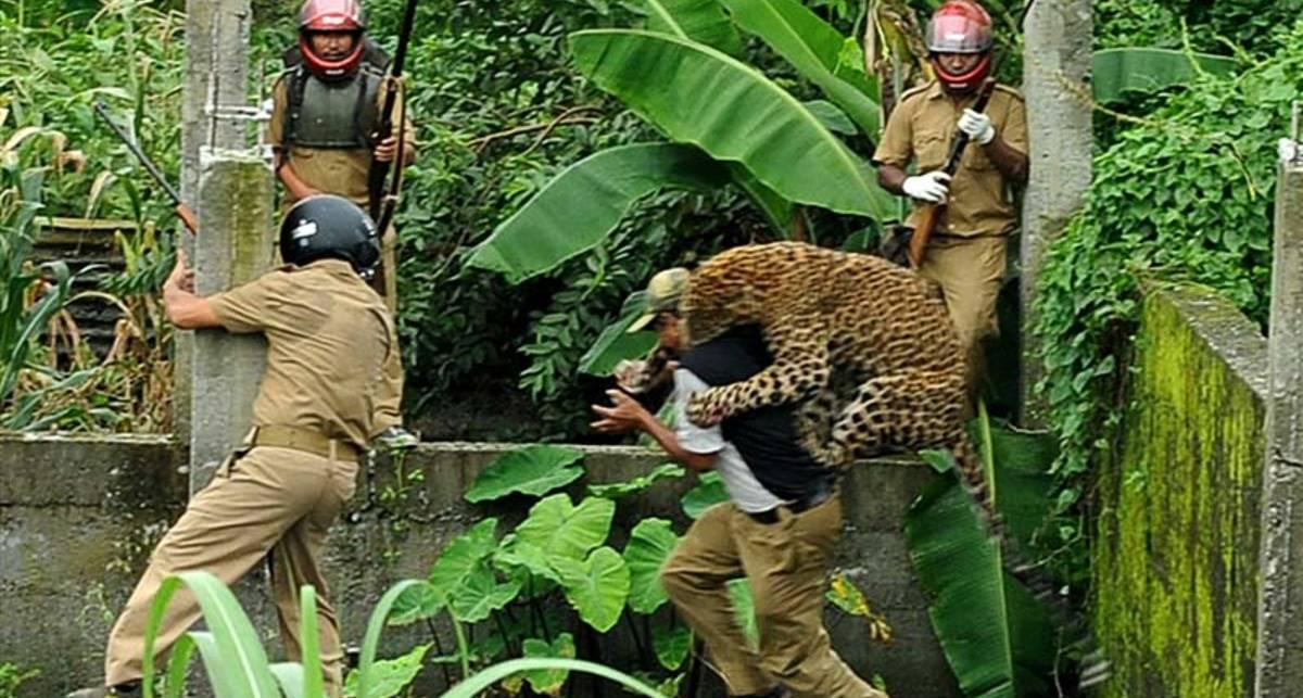 Шестеро на одного: охота леопарда-убийцы