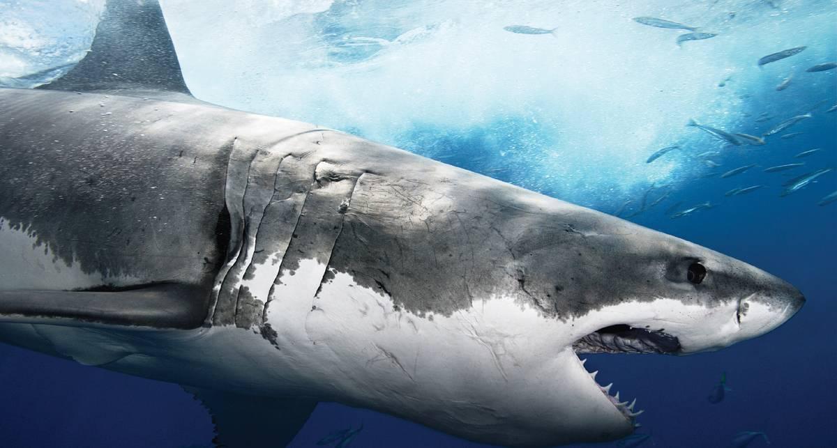 Бей в жабры: как отбиться от акулы