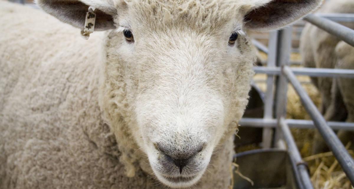 В тюрьму из-за овцы: жена послала на нары