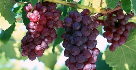 Виноград спасет от пивного живота