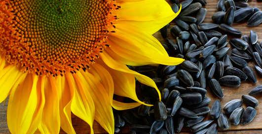 Лузгай на здоровье: чем полезны обычные семечки?