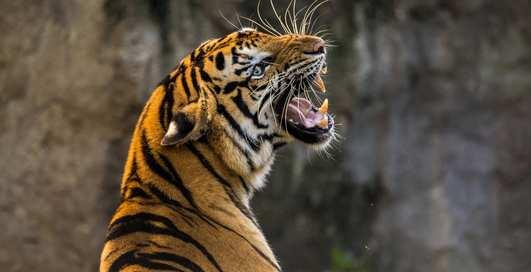 Галлюцинации или реальность: мужчина выкурил марихуану и нашел тигра