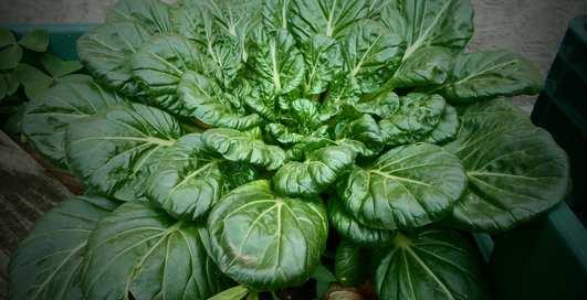 Зелень в топ: полезные свойств шпината