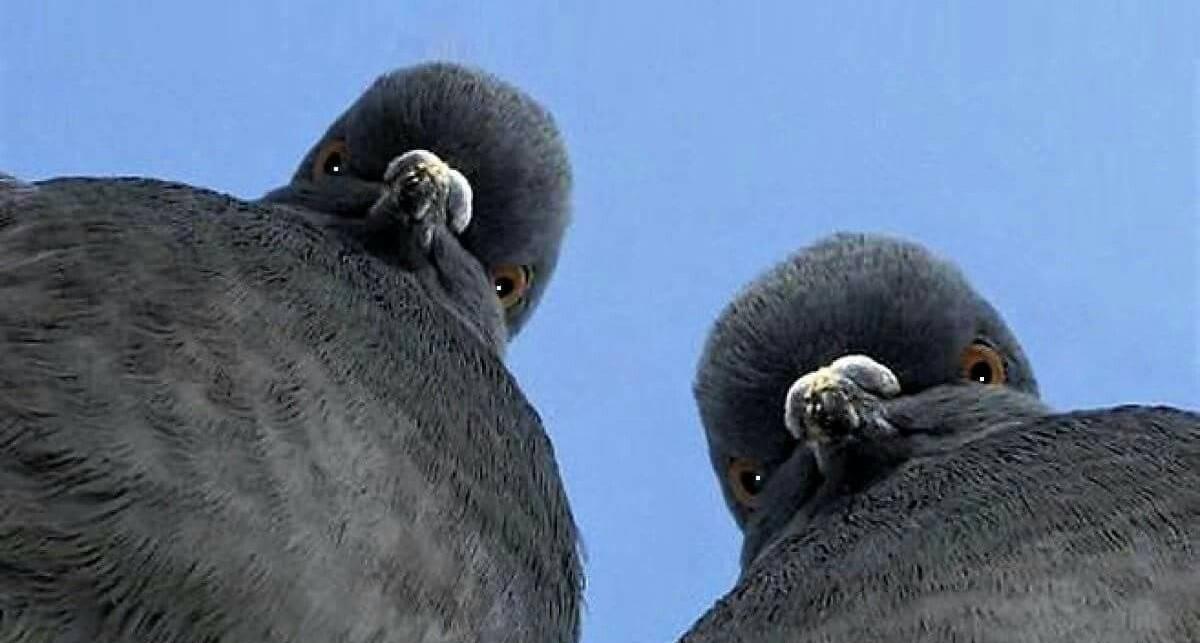 В Бельгии продали самого дорогого голубя в истории. Цена вопроса - 1,25 миллиона евро
