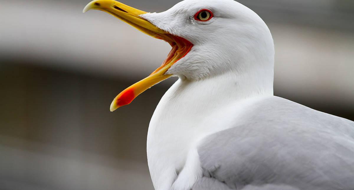 Пробуди свою внутреннюю чайку: чемпионат по имитации крика чайки прошел в Бельгии